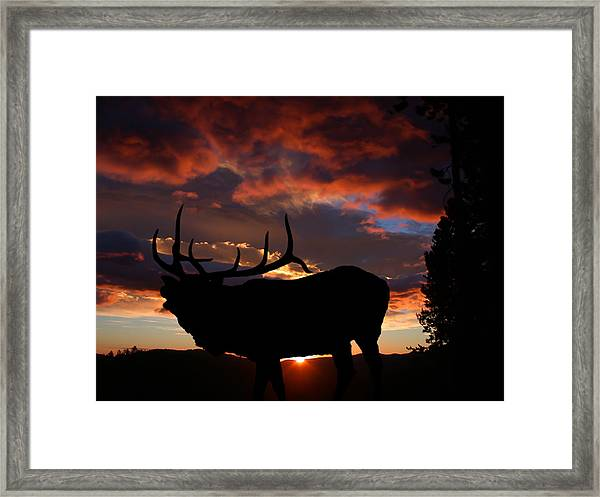 Elk At Sunset Framed Print