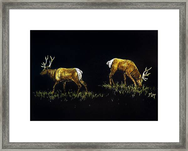 Elk Bulls Framed Print