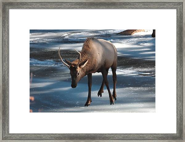 Elk On Ice Framed Print