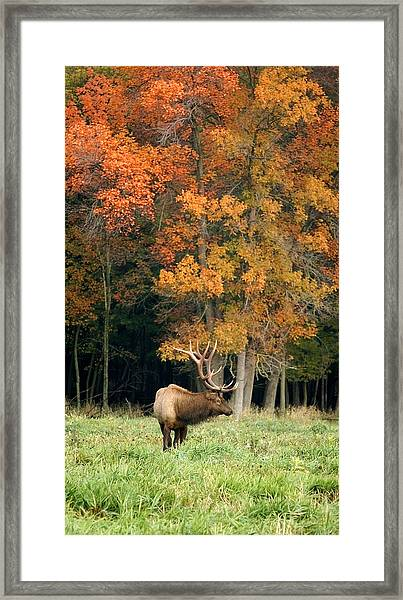 Elk With Autumn Colors Framed Print
