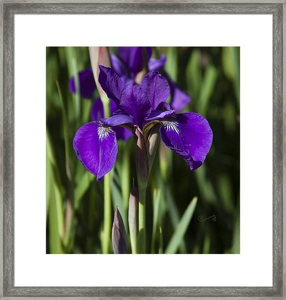 Eloquent Iris Framed Print