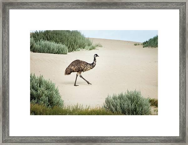 Emu In Sand Dunes. Coffin Bay. South Framed Print