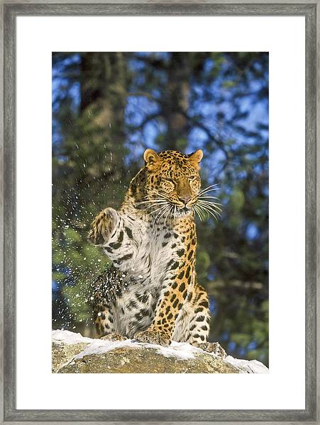 Endantered Leopard Framed Print