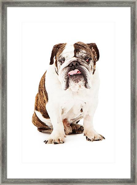 English Bulldog Sticking Tongue Out Framed Print