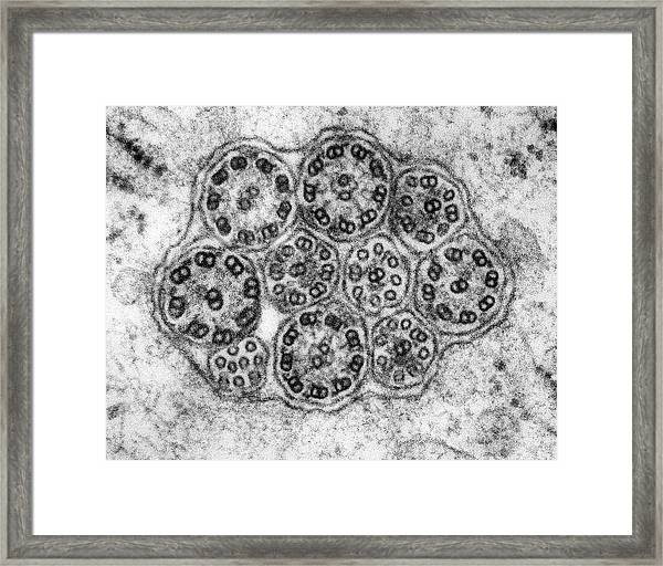Epithelial Cilia Microtubules (cross Section) Framed Print