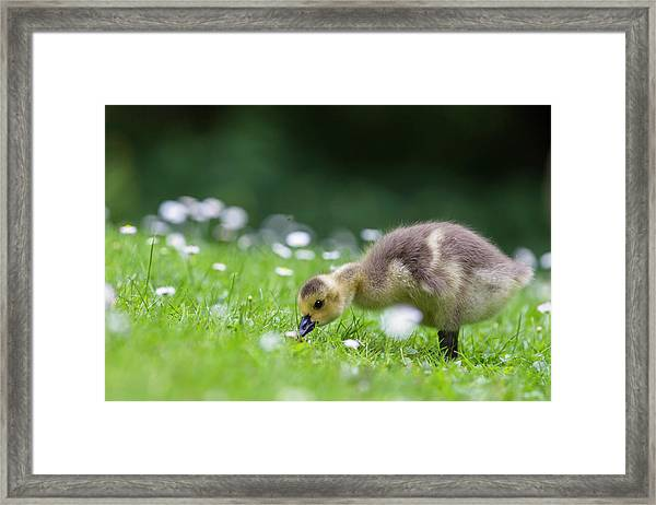 Europe, Germany, Bavaria, Canada Goose Framed Print by Westend61