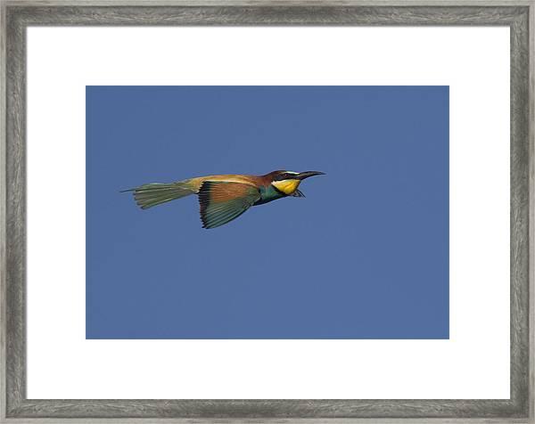 European Bee-eater Framed Print