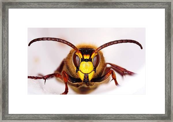 European Hornet-vespa Crabro Framed Print