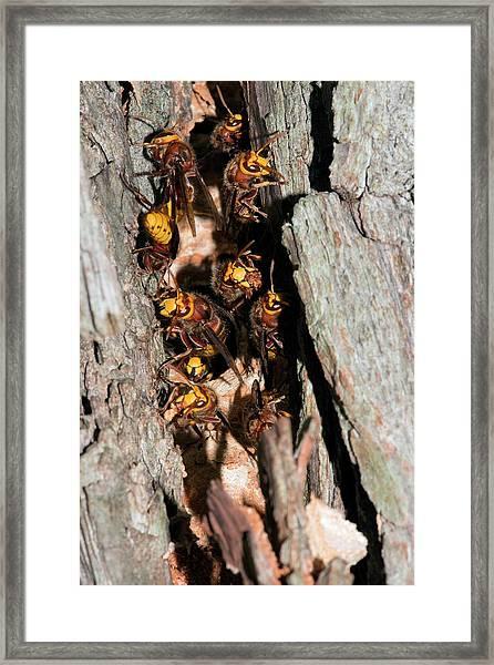 European Hornets Guarding Nest Framed Print