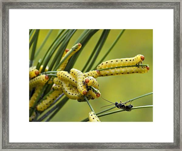 European Pine Sawflies Framed Print