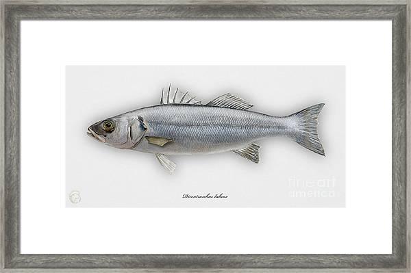 European Seabass Dicentrarchus Labrax - Bar Commun - Loup De Mer - Lubina - Havabor - Seafood Art Framed Print