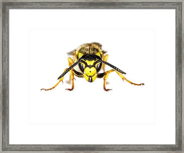 European Wasp Closeup On White Background Framed Print