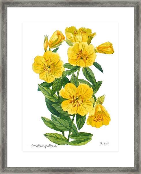 Evening Primrose - Oenothera Fruticosa Framed Print