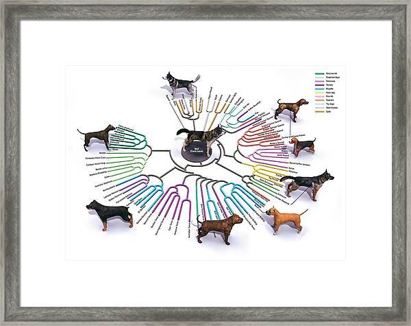 Evolution Of Dog Breeds Framed Print by Jose Antonio Penas/science Photo Library