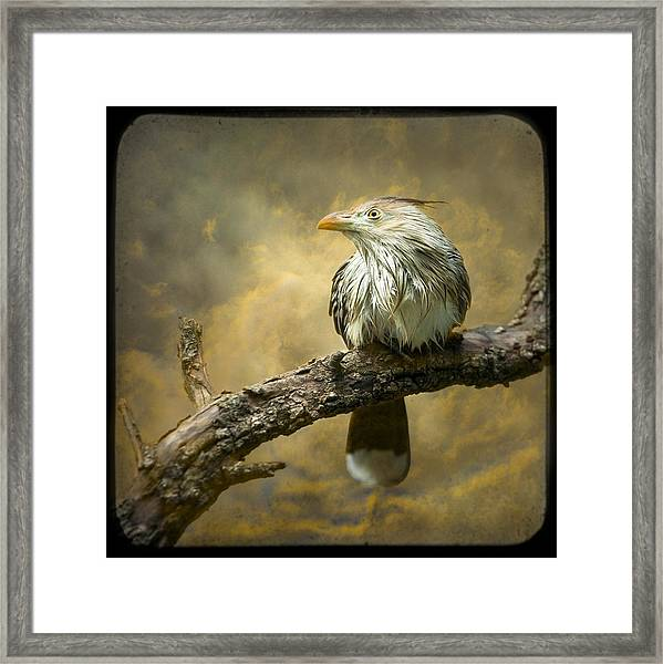 Exotic Bird - Guira Cuckoo Bird Framed Print