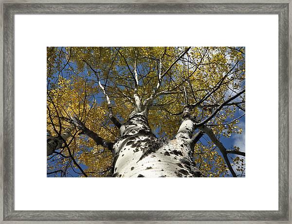 Fall Aspen Framed Print