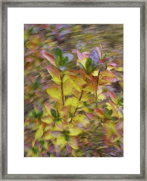 Autumn Azaleas 3 Framed Print