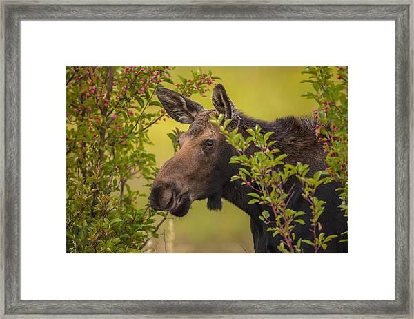 Fall Moose Framed Print