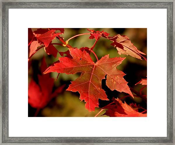 Fall Red Beauty Framed Print