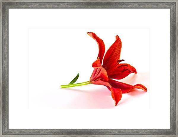 Fallen Tiger Lily Framed Print