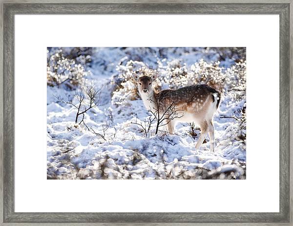 Fallow Deer In Winter Wonderland Framed Print