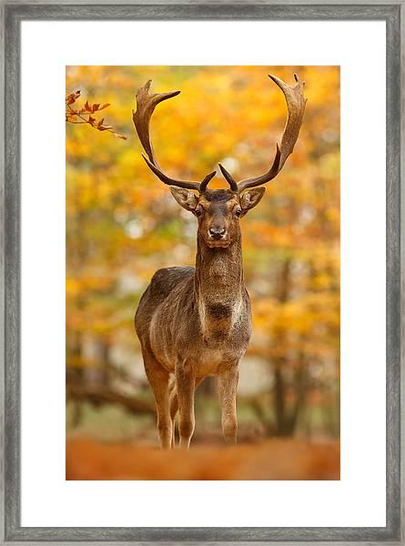 Fallow Deer In Autumn Forest Framed Print