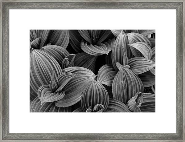 False Helebore Framed Print