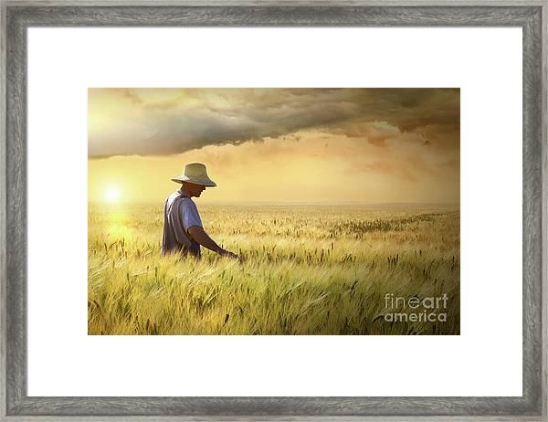 Farmer Checking His Crop Of Wheat  Framed Print