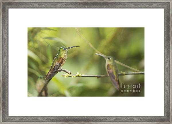 Fawn-breasted Brilliant Hummingbirds Framed Print