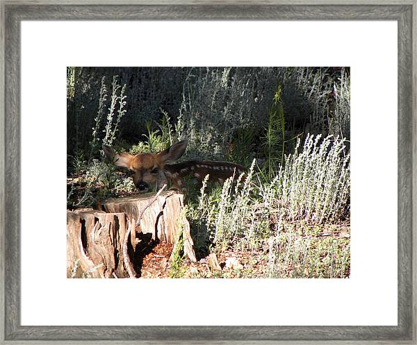 Fawn Front Yard Divide Co Framed Print