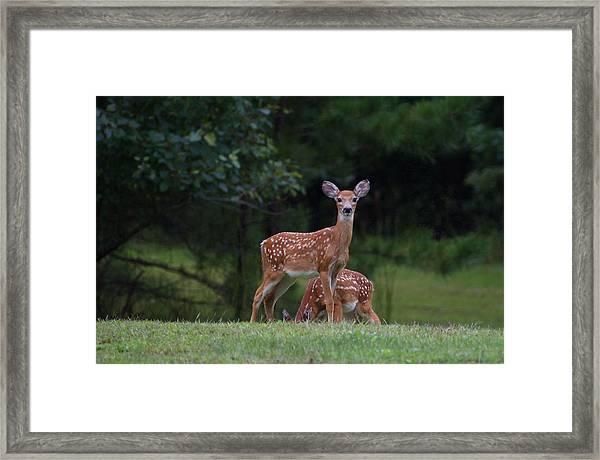 Fawns Framed Print