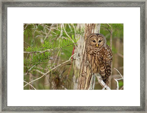 Female Barred Owl (strix Varia Framed Print