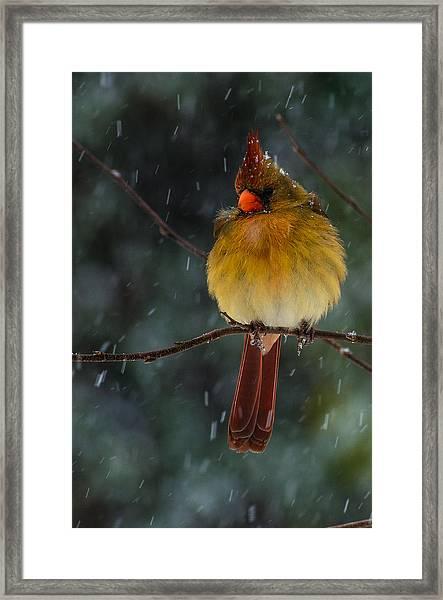 Female Cardinal In A Storm  Framed Print
