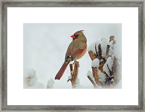 Female Cardinal In The Snow Framed Print