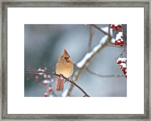 Female Cardinal On Cherry Tree In Snow Framed Print