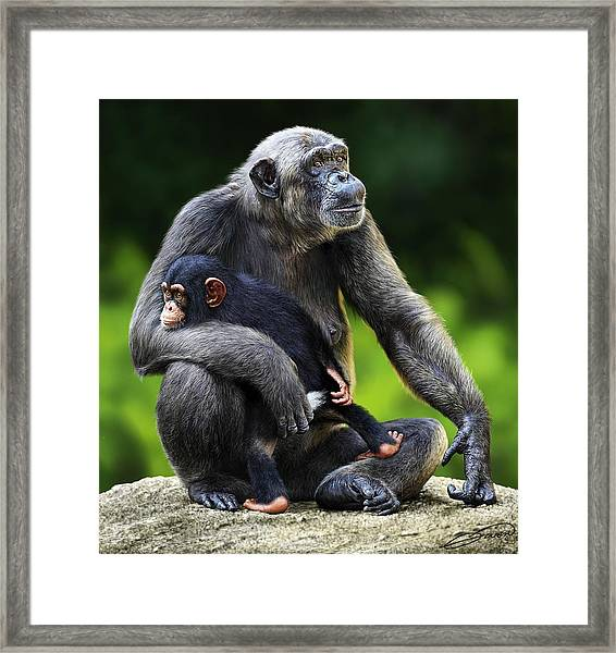 Female Chimpanzee With Young Framed Print by Owen Bell
