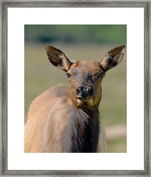 Female Elk Framed Print