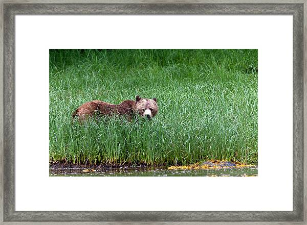 Female Grizzly, Knight Inlet Framed Print by Doug Mckinlay