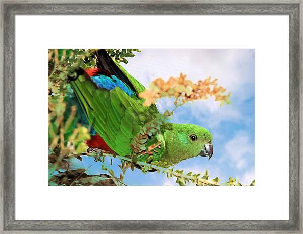 Female King Parrot Framed Print