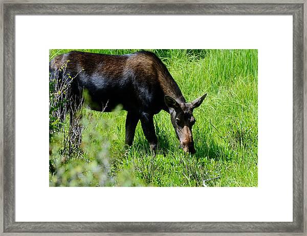 Female Moose Framed Print