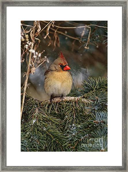 Female Norther Cardinal Framed Print