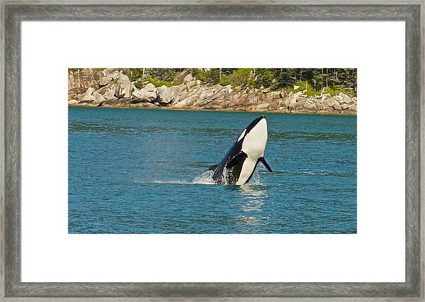 Female Orca Cheval Island Alaska Framed Print