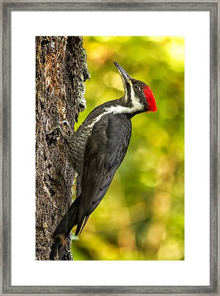 Female Pileated Woodpecker No. 2 Framed Print