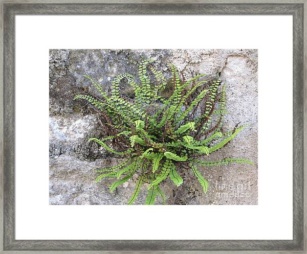 Fern Tendrils  Framed Print