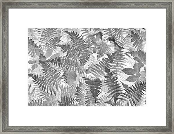 Fiddlehead Ferns Framed Print