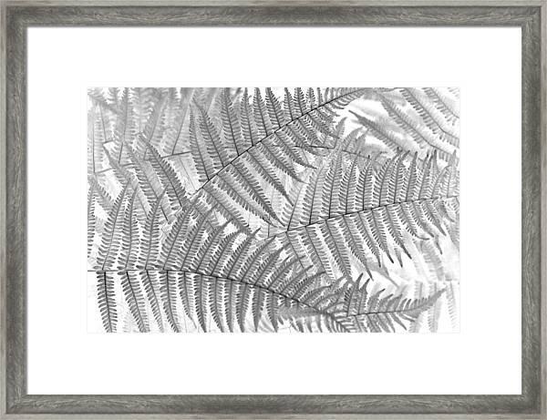 Fiddleheads Framed Print
