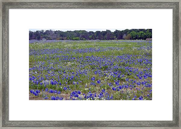 Field Of Bluebonnets Framed Print by Judith Russell-Tooth