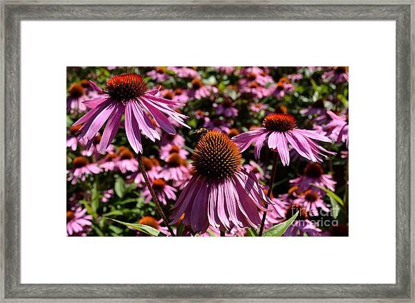Field Of Echinaceas Framed Print