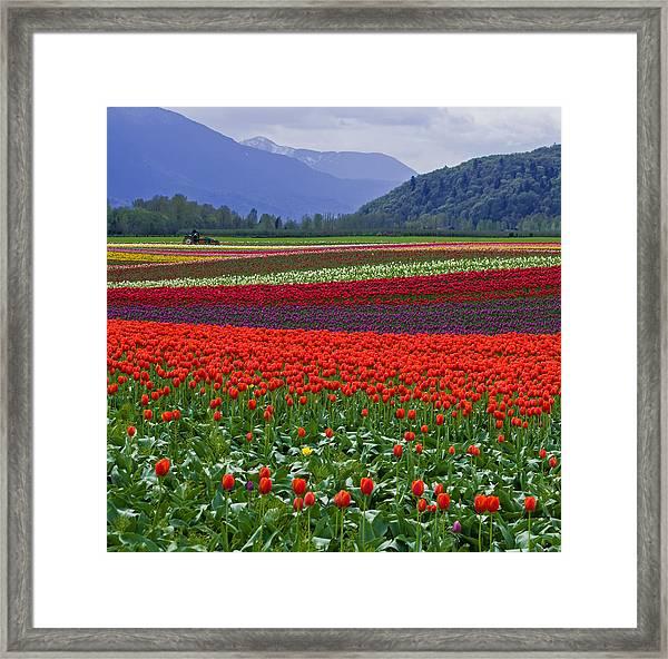 Field Of Tulips Framed Print