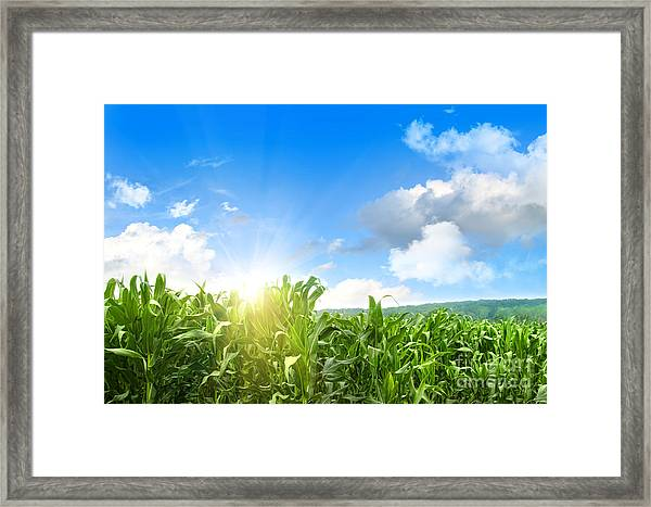 Field Of Young Corn Growing Against Blue Sky Framed Print